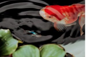 LUCAA+ Probiotic Fishpond Optimiser