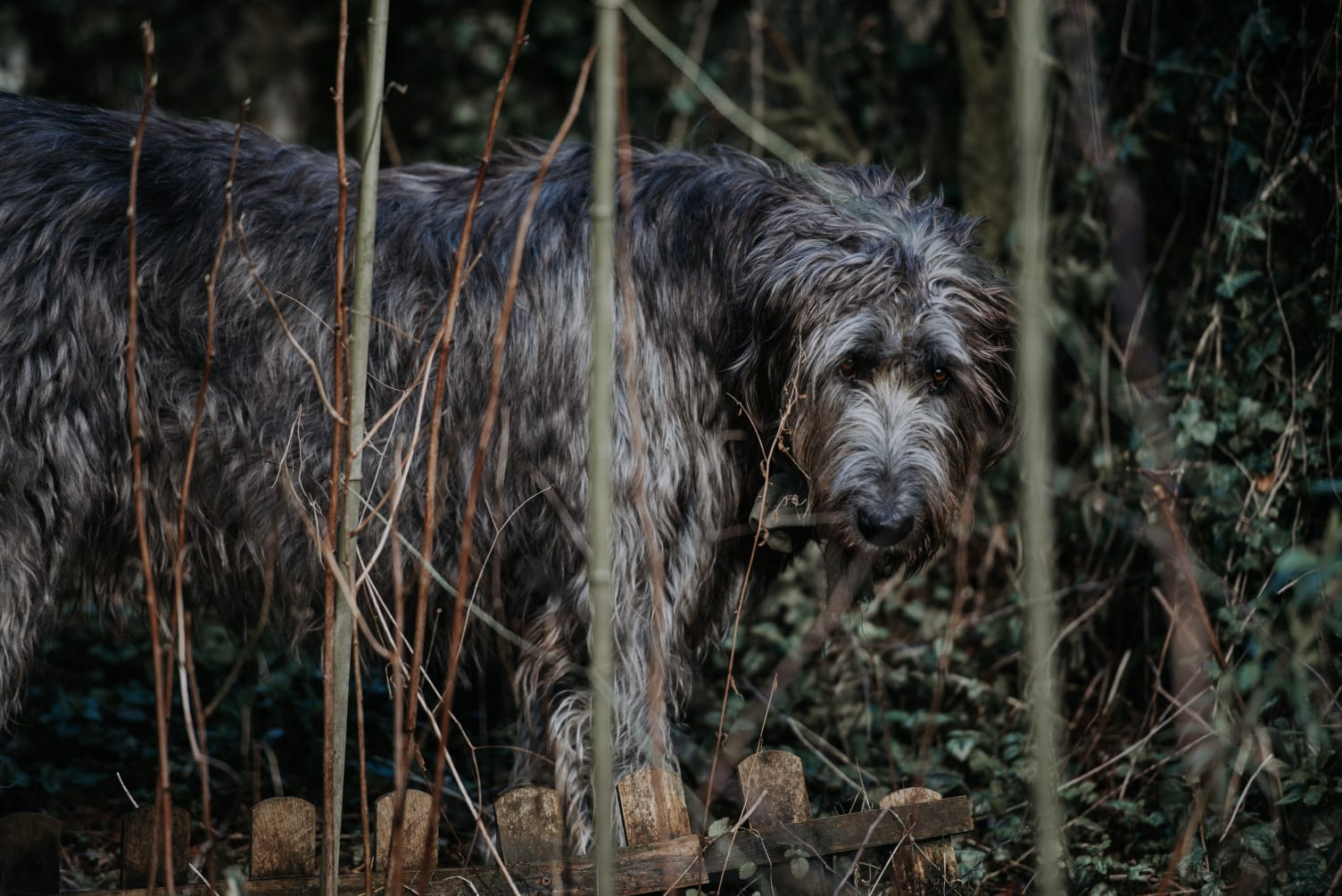 The WolfHound!